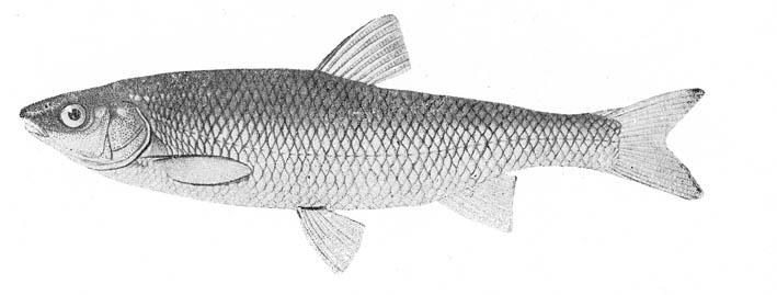 красная рыба в ладожском озере