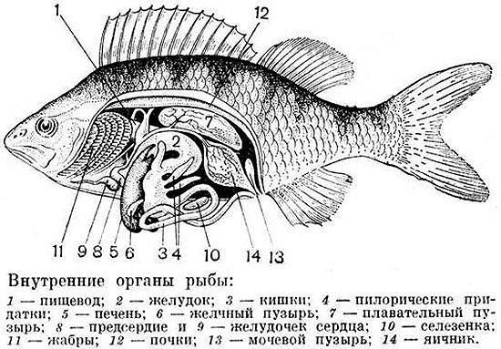 Физиология и анатомия рыбы