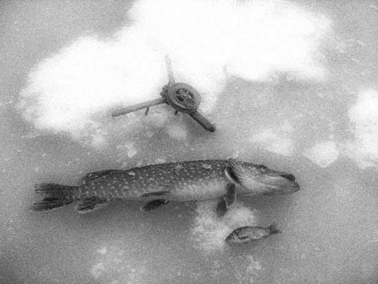 Подледная рыбалка на живца